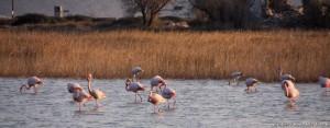 flamingos mikali pythagotion samos